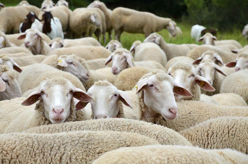 corderos en alemania