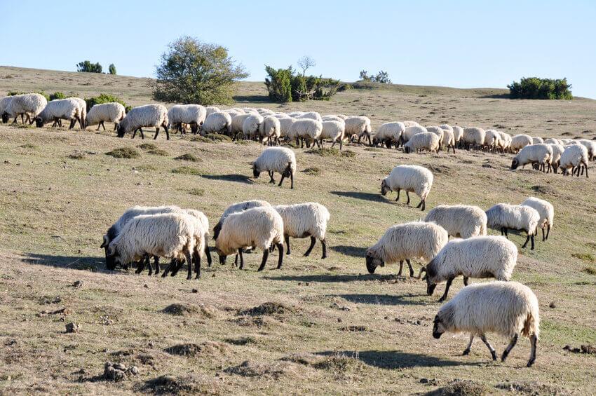 rebaño corderos