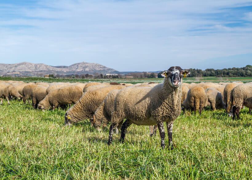 Corderos en Cataluña