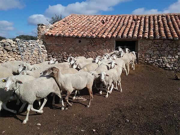 ovejas-bello