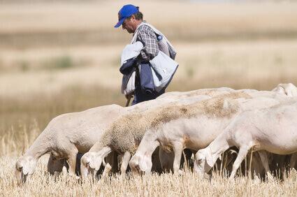 troupeau de moutons  / div>