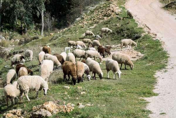 ovejas cordero