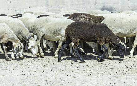ovejas verano
