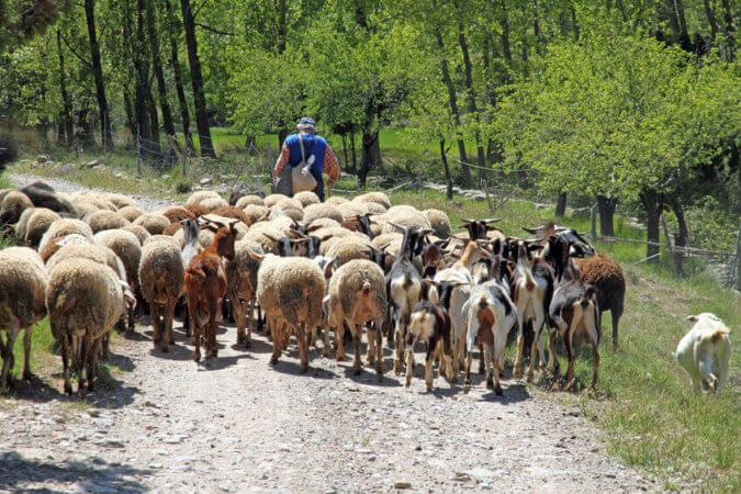 Fiesta del Cordero. ¿Qué es y cómo se celebra en España?