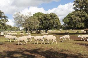 Rebaño de ovejas pastando en una zona rural