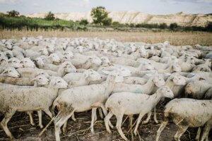 hierba-seca-ovejas