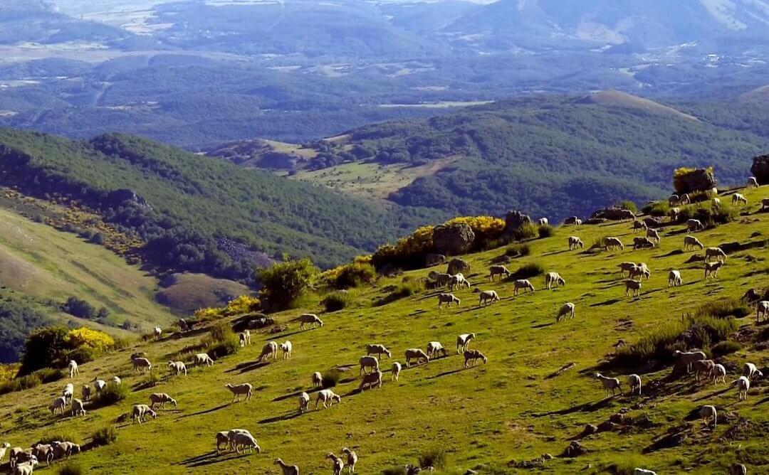 Un rebaño trashumante de más de mil ovejas recala en la localidad vallisoletana de Tordesillas